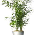bambuszpalma